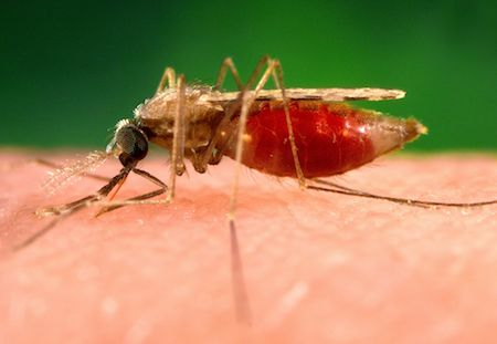 Photograph shows an anopheles minimus a malaria vector of the orient mosquito from a lateral perspective
